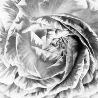 Ranunculus Abstract IV BW Light Fine Art Print