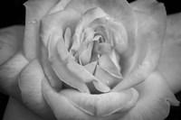 Monochrome Flower 03 Fine Art Print