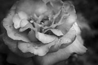 Monochrome Flower 67 Fine Art Print