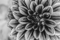 Monochrome Flower 70 Fine Art Print