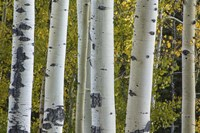 Aspen Trunks Fine Art Print