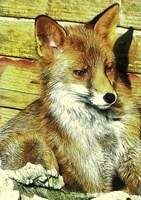 Portrait of an Urban Fox Fine Art Print