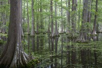 In the Swamp Fine Art Print