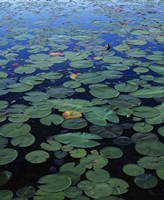 Lily Pad and Spatterdock Fine Art Print