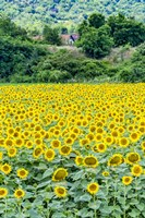 Sunflower Field 01 Fine Art Print