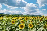 Sunflower Field Against Sky 02 Fine Art Print