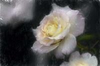 Pink & White Rose Fine Art Print