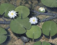 Under the Lily Pad Fine Art Print