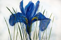 Iris Sings the Blues Fine Art Print