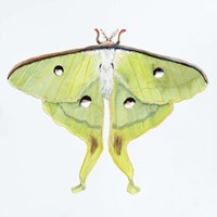 Butterfly Collection Luna Moth Fine Art Print