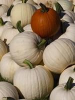 White Pumpkins Fine Art Print