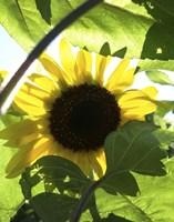 Sunflower 6 Fine Art Print
