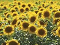 Sunflower 10 Fine Art Print