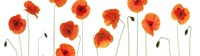 Row of Poppies on White Fine Art Print