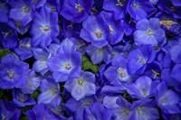 Blue Bells Carpet at Amsterdam Floral Market Fine Art Print