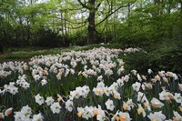 Keukenhof Botanical Daffodils Garden Fine Art Print