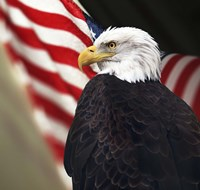 Bald Eagle And US Flag Fine Art Print