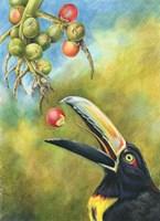 Aracari Toucanet Fine Art Print
