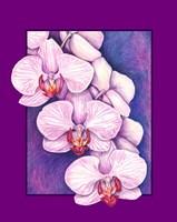 Phalaenopsis Orchids Fine Art Print