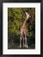 Africa, Kenya, Nairobi, Langata, Hog Ranch Fine Art Print