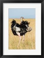 Kenya, Maasai Mara. Masai Ostrich Fine Art Print
