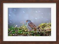 White-Crowned Sparrow In A Spring Snow Storm Fine Art Print