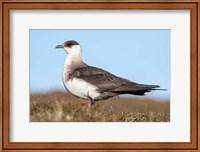 Arctic Skua Great Britain, Scotland, Shetland Islands Fine Art Print