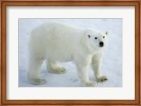 Greenland, Scoresby Sound, Polar Bear Standing On Sea Ice Fine Art Print