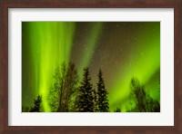 Alaska Aurora Borealis Over Forest Fine Art Print