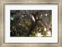 Morning Light Illuminating The Moss Covered Oak Trees, Florida Fine Art Print