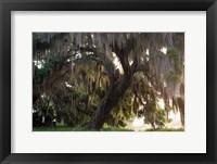 Morning Light Illuminating The Moss Covered Oak Trees, Florida Fine Art Print