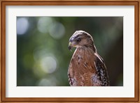 Portrait Of A Perched Hawk Fine Art Print