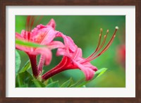 Pink Azalea, Massachusetts Fine Art Print