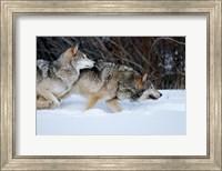 Gray Wolves Running In Snow, Montana Fine Art Print