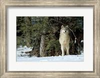 Gray Wolf In Winter, Montana Fine Art Print