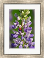 Ladybug On A Lupine Flower Fine Art Print