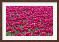 Field Of Purple Tulips In Spring, Willamette Valley, Oregon Fine Art Print