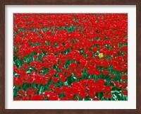 Lone Yellow Tulip Among Field Of Red Tulips, Oregon Fine Art Print
