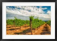 Dundee Hills Vineyard, Oregon Fine Art Print