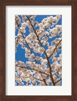 Cherry Tree Blossoms In Spring, Washington State Fine Art Print