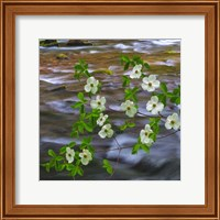 Pacific Dogwood Branch Over Panther Creek, Washington State Fine Art Print