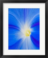Close-Up Of A Morning Glory Flower Fine Art Print