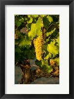 Viognier Grapes In A Vineyard Fine Art Print