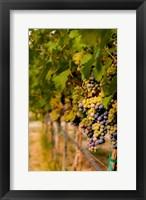 Cabernet Franc Block In A Vineyard Fine Art Print