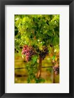 Grenache Block In A Vineyard Fine Art Print