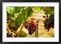 Merlot Grapes In A Vineyard Fine Art Print