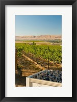 A Bin Of Cabernet Sauvignon Grapes At Harvest Fine Art Print