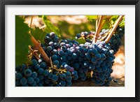 Petit Verdot Grapes From A Vineyard Fine Art Print