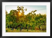Sun Burst In A Vineyard Fine Art Print