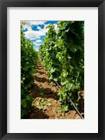 Vineyard Region Known As The Rocks Fine Art Print